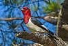RedHeadedWoodpecker(male)-OcalaNF-5-11-20-SJS-05
