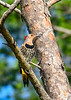NorthernFlicker-OcalaNF-7-4-20-sjs-001