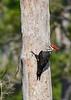 PileatedWoodpecker-SawgrassIsland-3-12-20-SJS-011