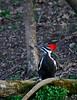 PileatedWoodpecker-Female-2016-sjs-004