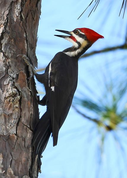 PileatedWoodpecker(male)-OcalaNF-11-8-18-SJS-001