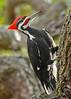 PileatedWoodpecker-ApopkaFL-1-20-18-SJS-036