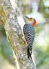 Red-BelliedWoodpecker-LYE-3-4-19-SJS-001