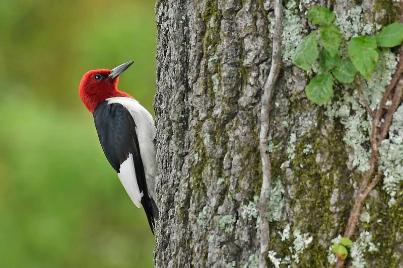 Red-HeadedWoodpecker-PovertyPointLA-7-8-18-SJS-001