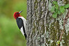 Red-HeadedWoodpecker-PovertyPointLA-7-8-18-SJS-001