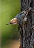 Brown-HeadedNuthatch-TosohatcheeWMA-1-3-19-SJS-002