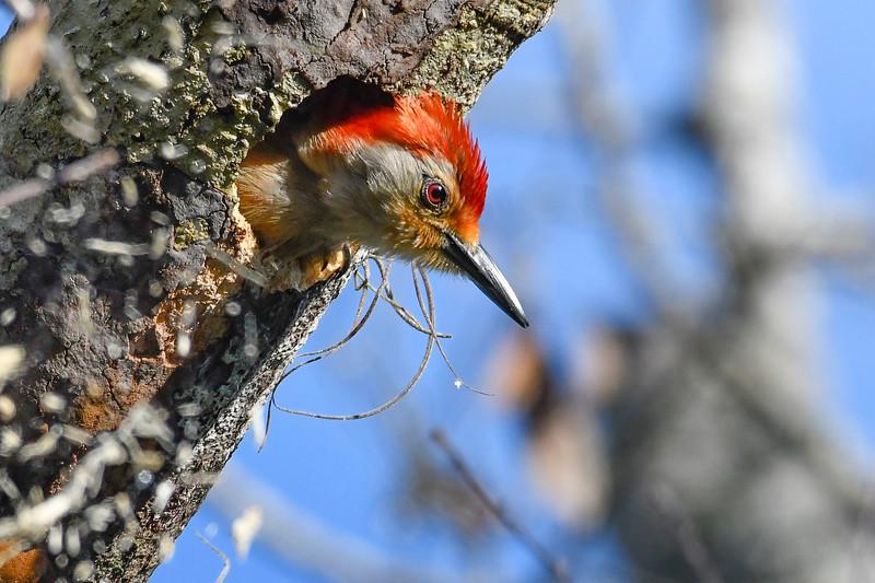 Red-BelliedWoodpecker-EmeraldaMarsh-4-28-19-SJS-001