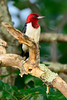 Red-HeadedWoodpecker-sjs-2015-003
