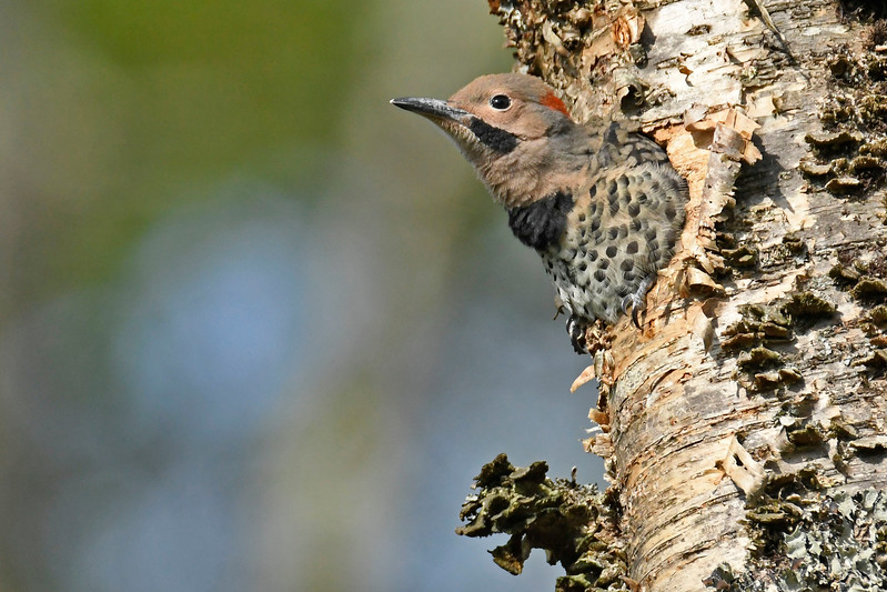 NorthernFlicker-CranberryGlades-6-25-17-SJS-010