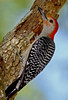 RedBelliedWoodpeckerPinewoodsTreefrog-LakeYaleFL-2016-SJS-015