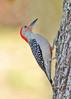 RedBelliedWoodpecker-LakeYaleEstates-2-27-17-SJS-003