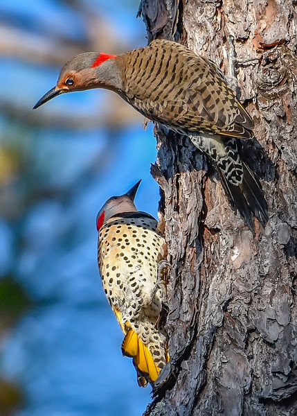 NorthernFlicker-WSSP-MarionCoFL-2-8-19-SJS-006