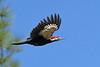 PileatedWoodpecker-SawgrassIsland-3-12-20-SJS-005