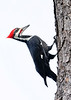 PileatedWoodpecker-OaklandNaturePreserve-11-2-19-SJS-001