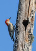 RedBelliedWoodpecker(male)-EmeraldaMarsh-4-4-20-SJS-003