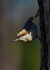 Brown-HeadedNuthatch-TosohatcheeWMA-1-3-19-SJS-010