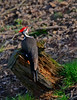 PileatedWoodpecker-Male-2016-sjs-003