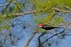 PileatedWoodpecker(male)-OcalaNF-11-8-18-SJS-012