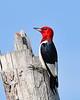 RedHeadedWoodpecker-OcalaNF-7-2-20-sjs-023