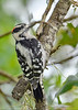 DownyWoodpecker(male)-SawgrassIslandPreserve-9-13-19-SJS-006