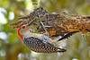 RedBelliedWoodpecker-LakeYale-4-29-20-SJS-001