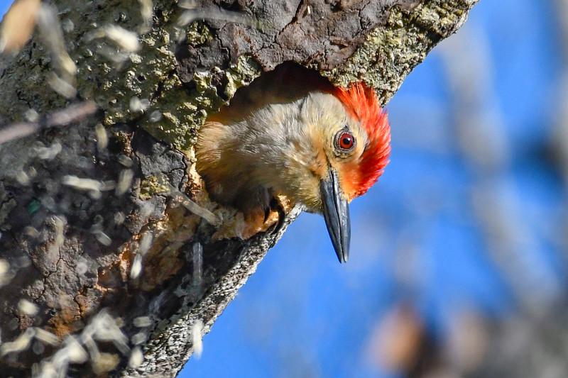 Red-BelliedWoodpecker-EmeraldaMarsh-4-28-19-SJS-003