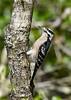 DownyWoodpecker(female)-OcalaNF-9-23-20-sjs-01