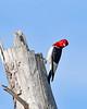RedHeadedWoodpecker-OcalaNF-7-2-20-sjs-021