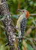 RedBelliedWoodpecker-PineMeadows-11-15-19-SJS-003