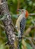 RedBelliedWoodpecker-PineMeadows-11-15-19-SJS-003