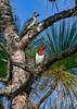 RedHeadedWoodpecker-JoeOverstreet-8-27-19-SJS-001