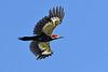 PiliatedWoodpecker-OcalaNF-6-21-20-SJS-03