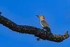 RedBelliedWoodpecker-OcalaNationalForest-11-7-19-SJS-002