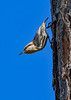 Brown-HeadedNuthatch-TosohatcheeWMA-1-3-19-SJS-001