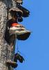 PileatedWoodpecker-MeadGardens-4-16-19-SJS-018