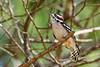 DownyWoodpecker(male)-OcalaNF-9-30-20-sjs-02