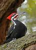 PileatedWoodpecker-ApopkaFL-1-20-18-SJS-022