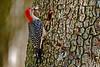 RedBelliedWoodpeckerPinewoodsTreefrog-LakeYaleFL-2016-SJS-011