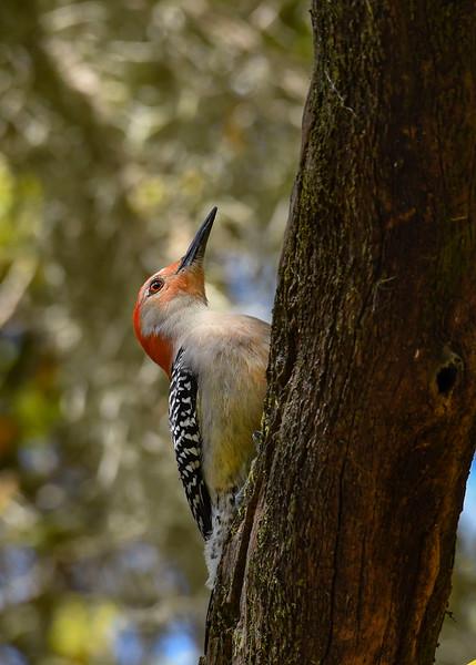 Red-BelliedWoodpecker-LYE-3-8-19-SJS-001