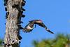 PileatedWoodpecker-MeadGardens-4-16-19-SJS-034