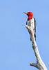 RedHeadedWoodpecker-OcalaNF-7-2-20-sjs-003