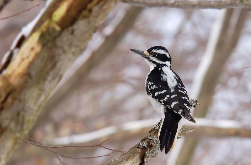 HairyWoodpecker(Female)-05