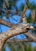 NorthernFlicker-PineMeadows-12_4_19-SJS-005