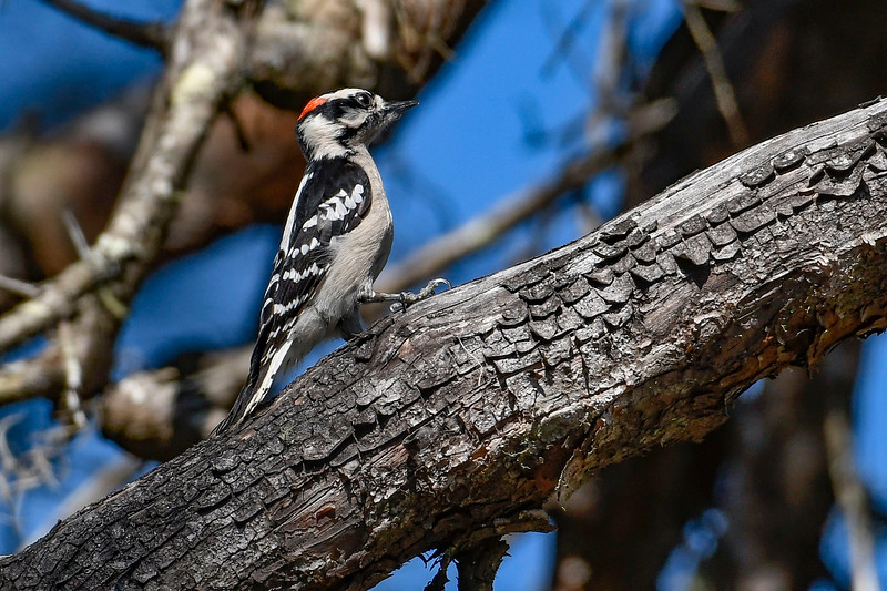 DownyWoodpecker-OcalaNF-3-14-20-SJS-001