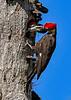 PileatedWoodpecker-MeadGardens-4-16-19-SJS-032