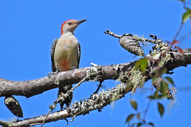 Red-belliedWoodpecker-OcalaNF-9-21-18-SJS-001