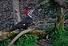 PileatedWoodpecker-Female-2016-sjs-002