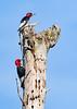 RedHeadedWoodpecker-OcalaNF-7-15-2020-SJS-13