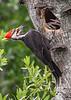 PileatedWoodpecker-MeadGardens-4-16-19-SJS-005