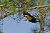 PileatedWoodpecker(male)-OcalaNF-11-8-18-SJS-013